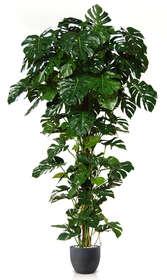 Split Philo Climber w pot 250 cm Green